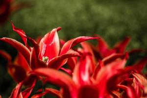gros plan, rouges, tulipes photo