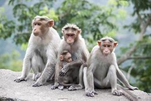 Famille de macaques rhésus assis près d'une autoroute en Inde