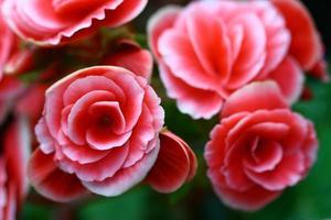 gros plan rose fée rose dans jardin