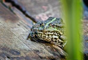 chaude journée d'été une grenouille sur le lac. photo