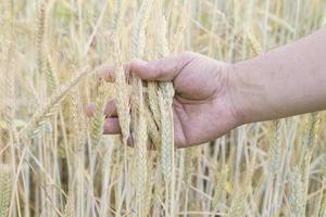 blé dans la main des hommes photo