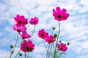 fleur de cosmos photo