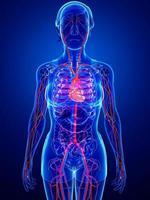système circulatoire féminin photo