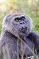 Gorille des plaines occidentales photo
