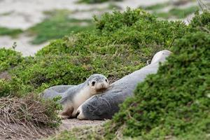 Lion de mer australien dormant sur un buisson photo