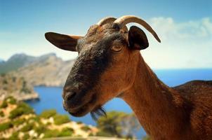 chèvre brune sur fond de ciel
