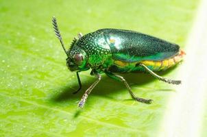 beau scarabée bijou ou alésage métallique (buprestid) sur feuille verte. photo