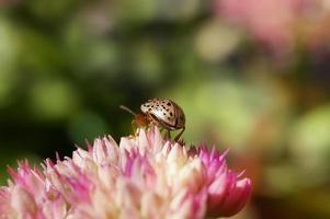 coccinelle dorée, assis sur une fleur rose (calligrapha multipunctata)