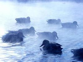 canards de lac brouillard photo