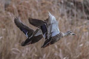 canard à bec tacheté en vol photo