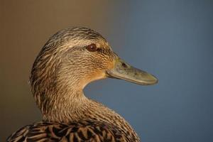 tête d'une femelle canard colvert (anas platyrhynchos)