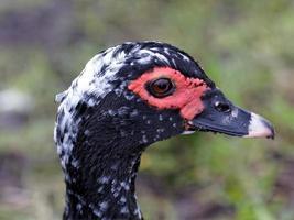 canard de Barbarie de profil photo