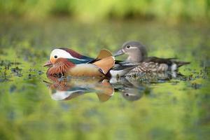 canard mandarin, mandarin, aix galericulata photo