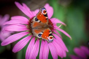 papillon paon photo