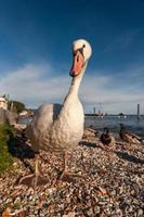 canard blanc sur fond de ciel bleu photo