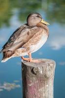 le canard colvert photo