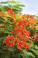 belles fleurs de gulmohar photo