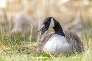 Bernache du Canada mère assise sur son nid d'oeufs