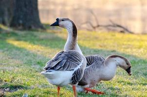 les oies chassent tôt le matin pour se nourrir. photo