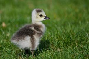 adorable petit oison à la recherche de nourriture dans l'herbe verte photo