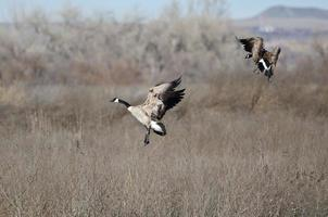 Paire d'oies du Canada atterrissant dans le marais photo