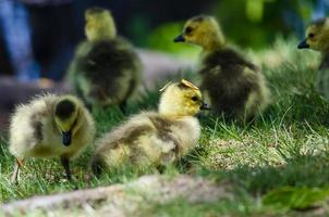 gosling nouveau-né portant un chapeau d'aiguille de pin photo