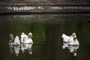 oies blanches sur un lac à bucarest, roumanie. photo