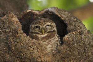 chouette dans le nid