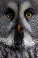 grand hibou gris photo