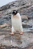 pingouin gentoo
