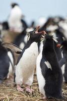 pingouins rockhopper courtiser photo