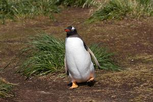 pingouin gentoo photo