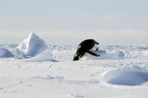 Jeux olympiques de pingouin