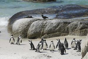 receveur d'huîtres avec colonie de pingouins photo