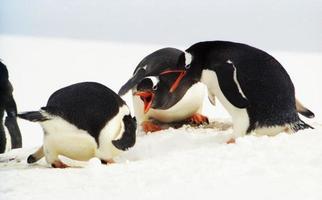 colonie de manchots papous dans la péninsule antarctique photo