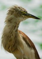 héron de l'étang indien photo