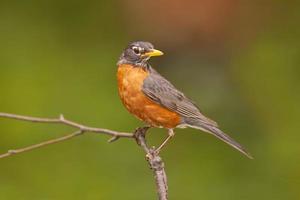 Robin américain photo