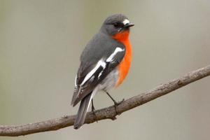 Robin des flammes mâle