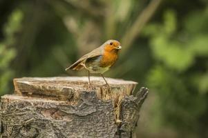 Robin sur une souche d'arbre avec de la nourriture dans son bec photo