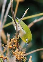 oeil blanc japonais (zosterops japonicus)