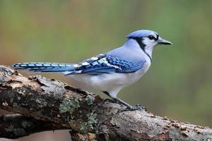 geai bleu en automne photo