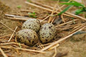 oeufs de mouette dans le nid photo
