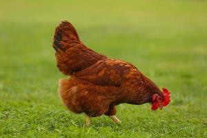 poulet marchant dans l'herbe photo
