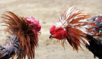 combats de coqs -deux coqs se battent photo