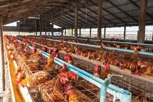 oeufs poulets dans la ferme locale