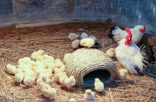 ferme de poulet
