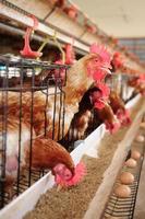 ferme de poulet photo