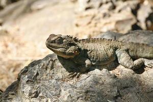 lézard dragon barbu australien photo