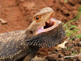 Dragon barbu en colère (Pogona vitticeps) avec la bouche ouverte dans l'outback australie photo
