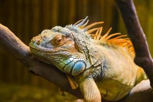 grand lézard iguane en terrarium